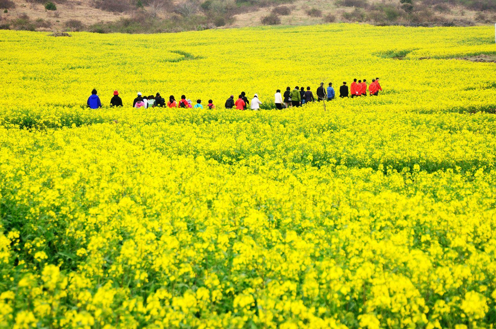 Cánh đồng hoa cải Jeju